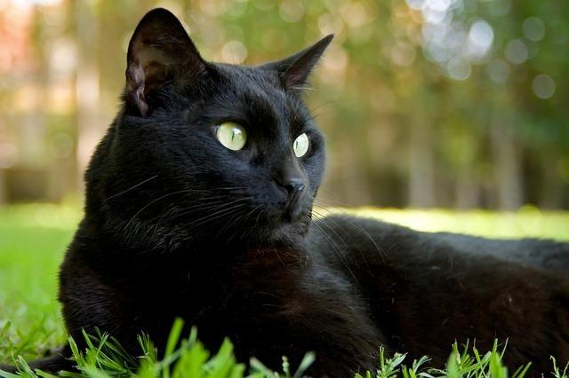 Por qu adoro los gatos - Cortinas el gato preto ...