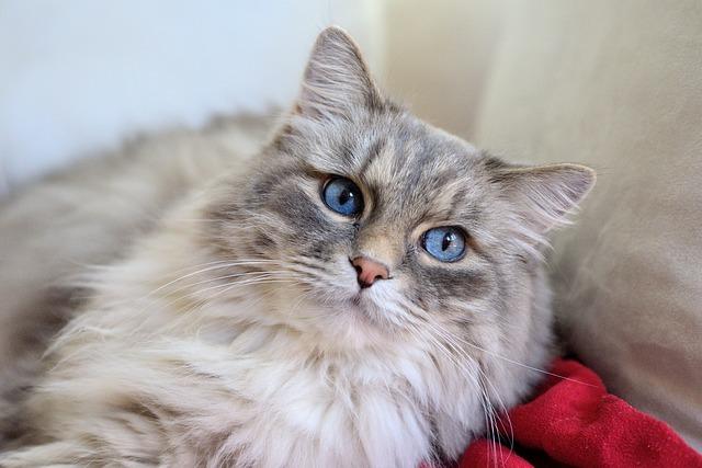 gato_pelo_largo