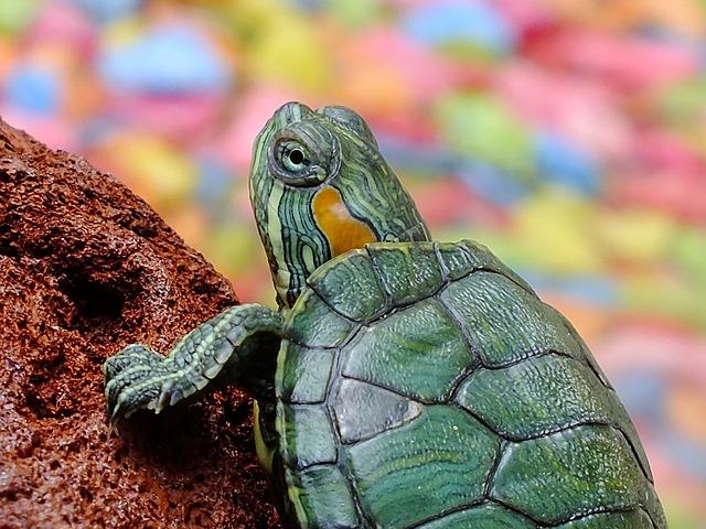 tortuga mascota